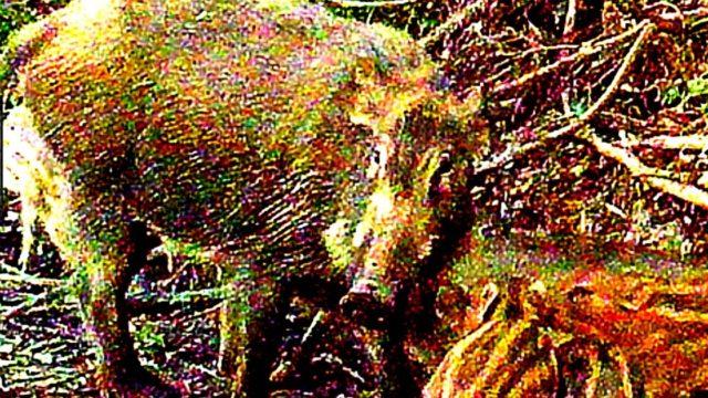 アフリカ豚コレラ2