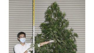 看護師大麻