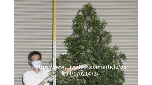 看護師大麻2